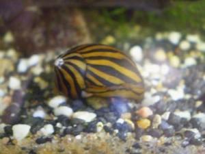 Zebra-rennschnecke-300x225 in Zebra-Rennschnecke (Neritina coromandeliana)